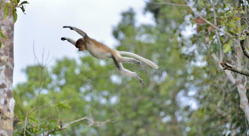 跳跃在狂放的绿色雨林的一只树长鼻猴在婆罗洲海岛上 库存照片
