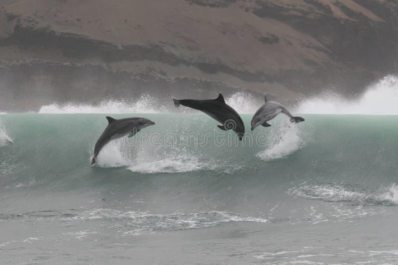 跳跃在离秘鲁的海岸的附近野生宽吻海豚 免版税库存图片