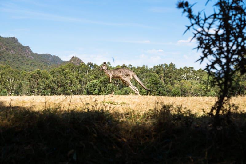 跳跃在草原在Grampians,澳大利亚的Kangeroo 免版税图库摄影