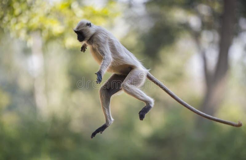 跳跃的灰色叶猴猴子 图库摄影