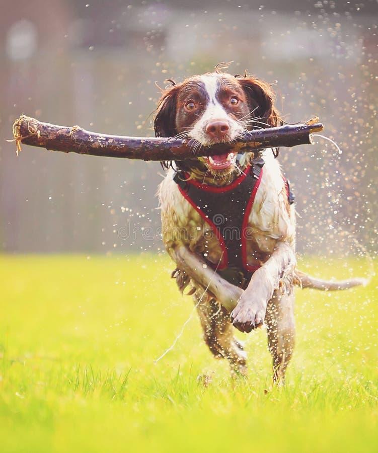 跳跃的狗 免版税库存图片
