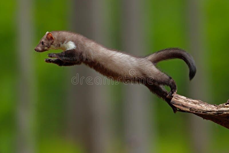 跳跃的白胸貂,小机会主义的掠食性动物,自然栖所 榉貂,市场foina,在典型的欧洲森林包围 免版税图库摄影