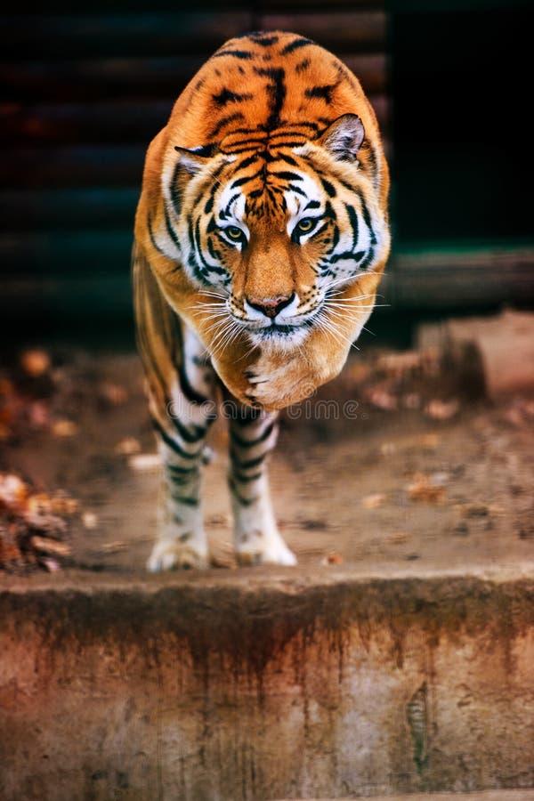 跳跃的老虎 这个庄严动物美丽,动态和强有力的照片  库存图片