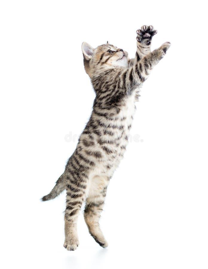 跳跃的苏格兰小猫 免版税库存图片