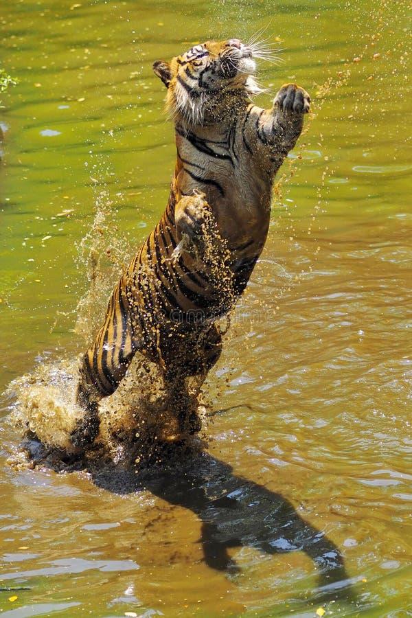 跳跃的苏门答腊老虎 库存图片