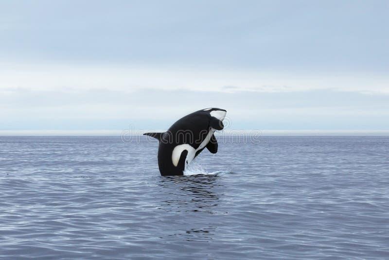 跳跃的虎鲸 免版税库存图片