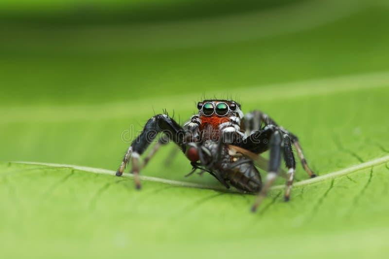 跳跃的蜘蛛和牺牲者在绿色叶子本质上 免版税库存图片