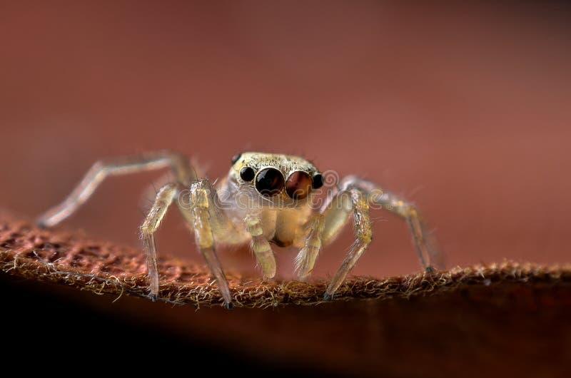 跳跃的蜘蛛宏指令 库存照片
