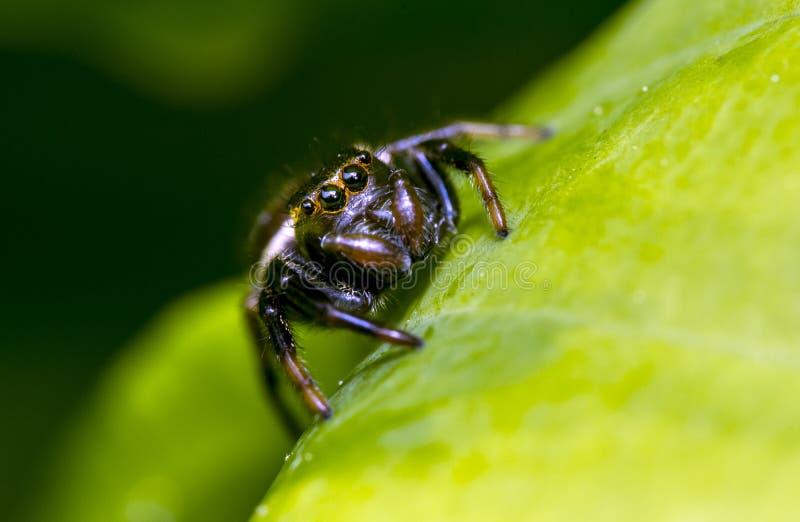 跳跃的蜘蛛家庭(Salticidae) 库存照片