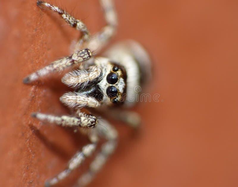 跳跃的蜘蛛-宏指令接近  免版税图库摄影
