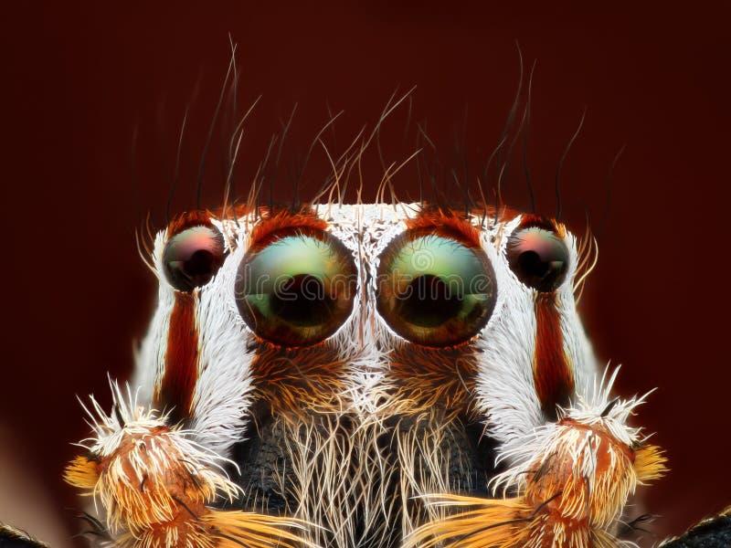 跳跃的蜘蛛Plexippus paykulli画象极端特写镜头  库存图片