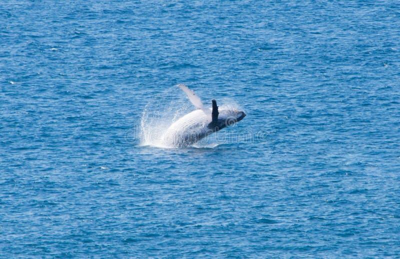 跳跃的鲸鱼,弗雷泽岛,澳大利亚,昆士兰 免版税图库摄影