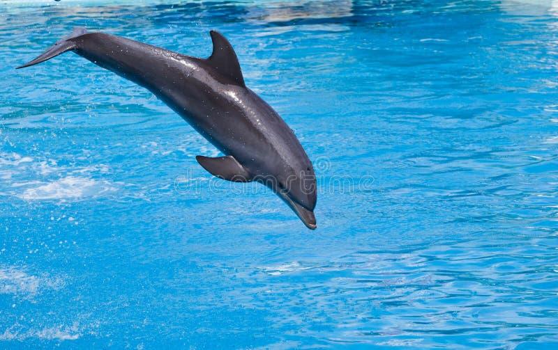 跳跃高从bue水的宽吻海豚 库存图片