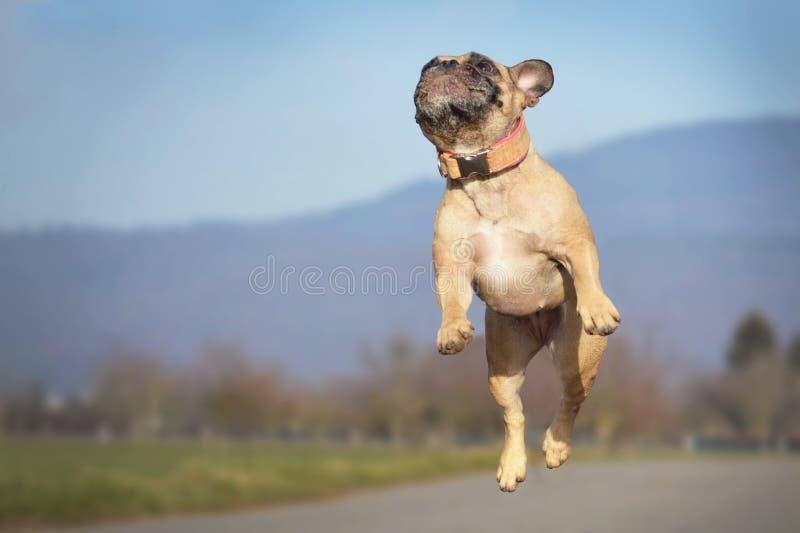 跳跃高在天空中的运动小小鹿法国牛头犬狗 免版税库存图片