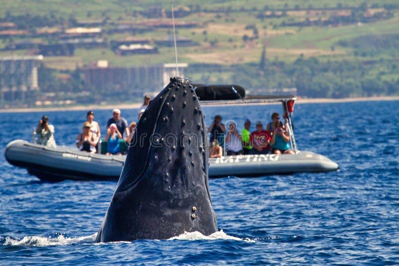 跳跃鲸鱼手表小船在毛伊的拉海纳附近的驼背鲸间谍 免版税库存图片