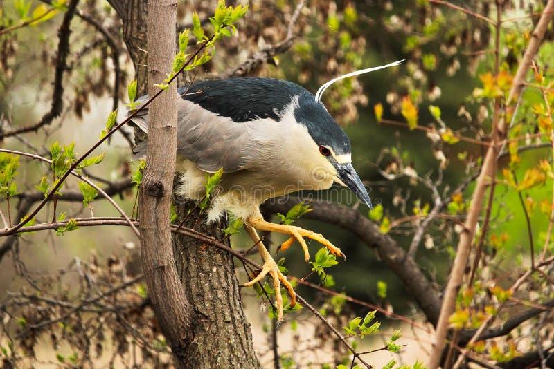 跳跃从在树的一个分支的一黑冠夜鹭属