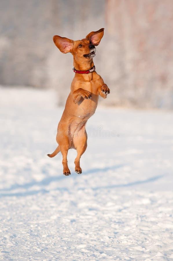 跳达克斯猎犬的狗  免版税库存图片