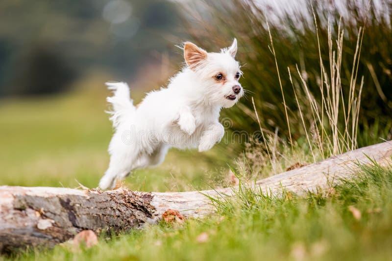 跳过一棵下落的树的一条逗人喜爱的白色Chorkie小狗 免版税库存图片