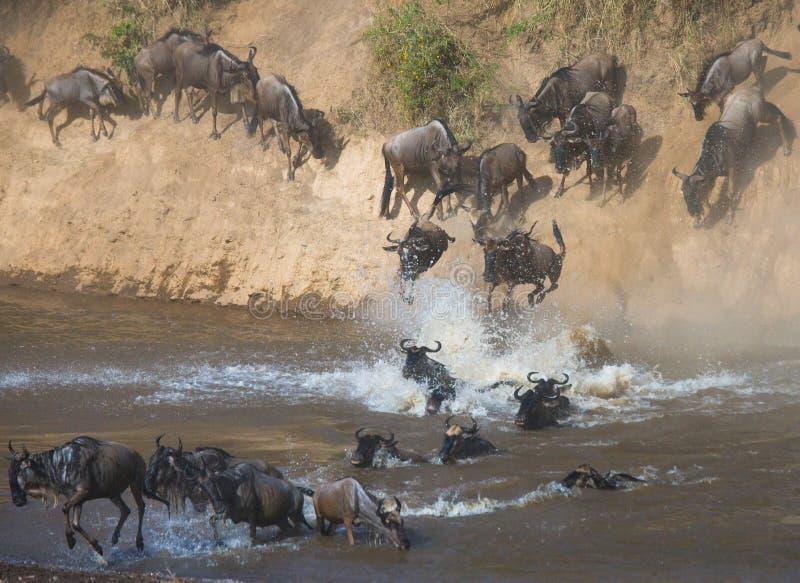 跳进玛拉河的角马 巨大迁移 肯尼亚 坦桑尼亚 马塞人玛拉国家公园 免版税库存照片