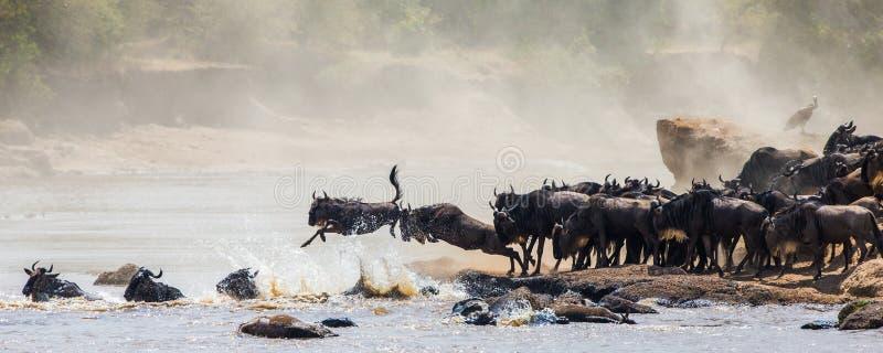 跳进玛拉河的角马 巨大迁移 肯尼亚 坦桑尼亚 马塞人玛拉国家公园 图库摄影