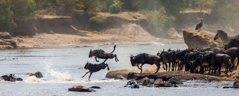 跳进玛拉河的角马 巨大迁移 肯尼亚 坦桑尼亚 马塞人玛拉国家公园 免版税图库摄影