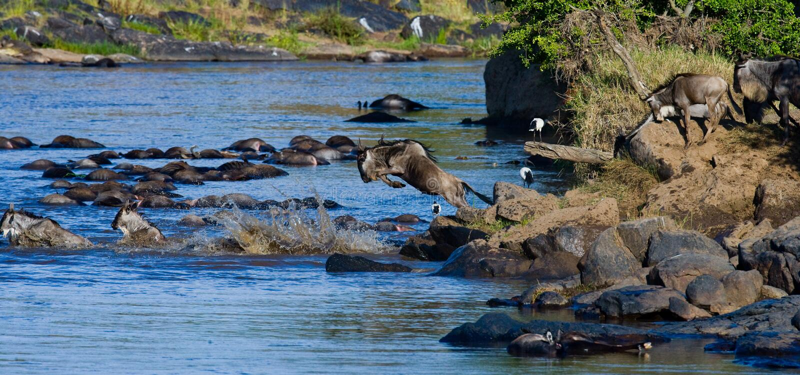 跳进玛拉河的角马 巨大迁移 肯尼亚 坦桑尼亚 马塞人玛拉国家公园 库存图片
