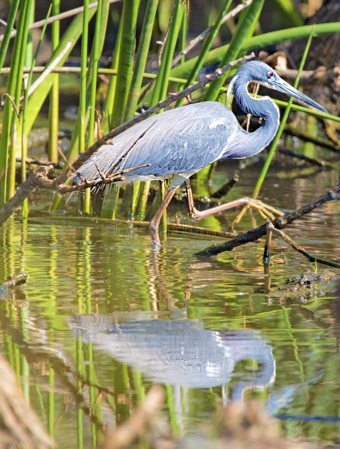 蹑手蹑脚地走在它附近的伟大蓝色的苍鹭的巢是反射 免版税图库摄影