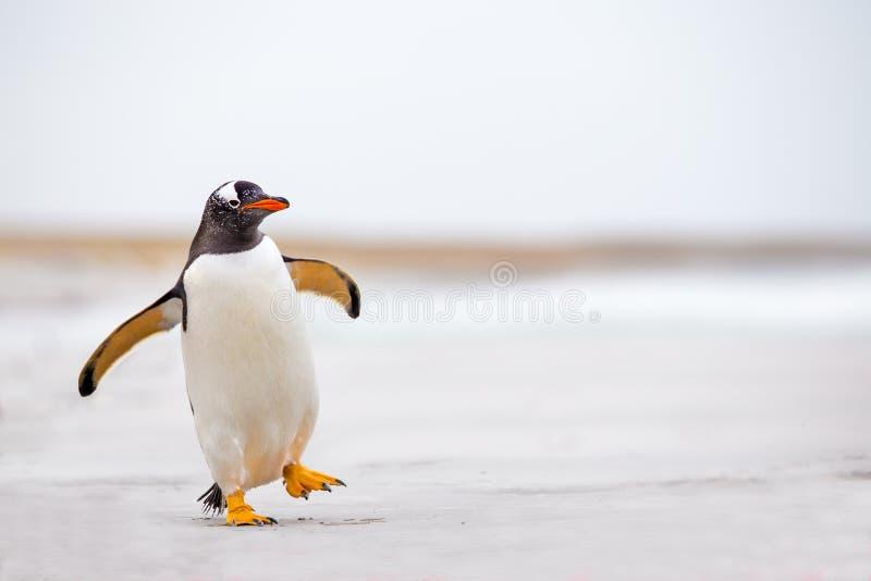 蹒跚地走在白色沙子的Gentoo企鹅(Pygoscelis巴布亚) 免版税库存图片