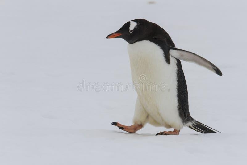 蹒跚地走在雪的成人gentoo企鹅 免版税库存图片
