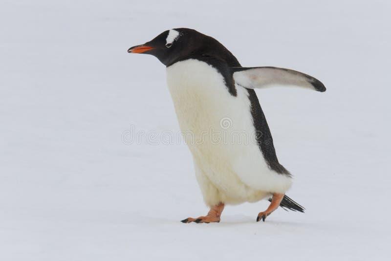 蹒跚地走成人gentoo的企鹅, Neko港口,南极洲 免版税库存照片