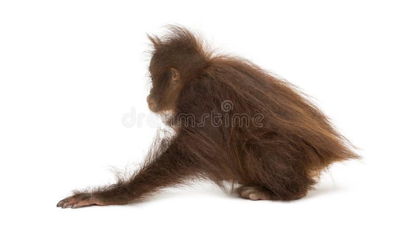 蹲下一只幼小Bornean的猩猩的背面图,类人猿pygmaeus 免版税库存图片