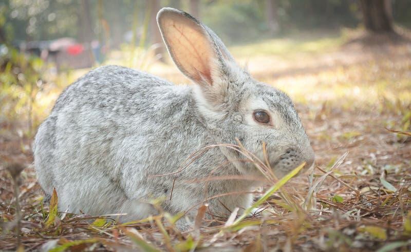蹲下在地面的野兔兔子 库存照片