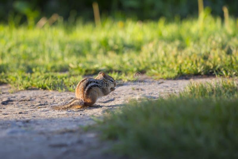 蹲下在外形的可爱的由后面照的东部花栗鼠吃在黎明 免版税库存图片