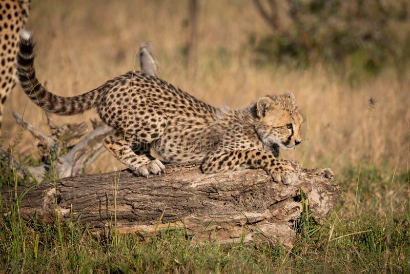蹲下在注册草的猎豹崽 免版税库存图片