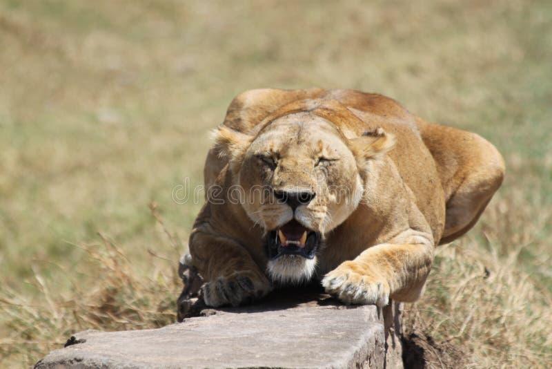 蹲下的狮子 库存照片