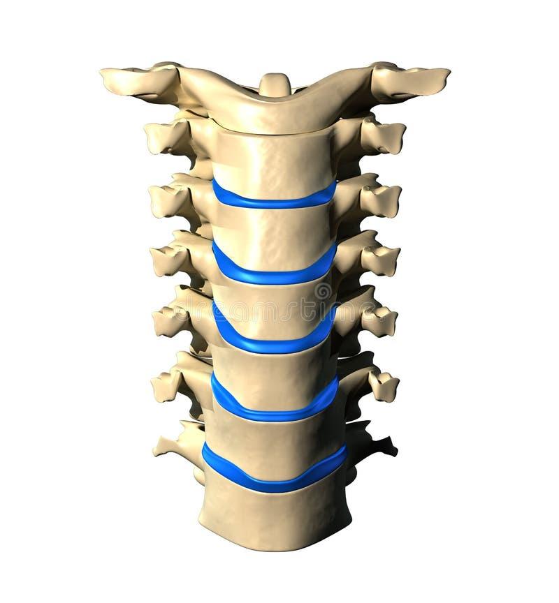 子宫颈脊椎-先前/正面图 库存例证
