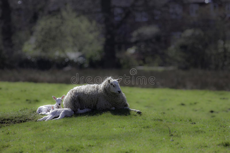 躺下与春天羊羔的母羊绵羊 免版税库存图片