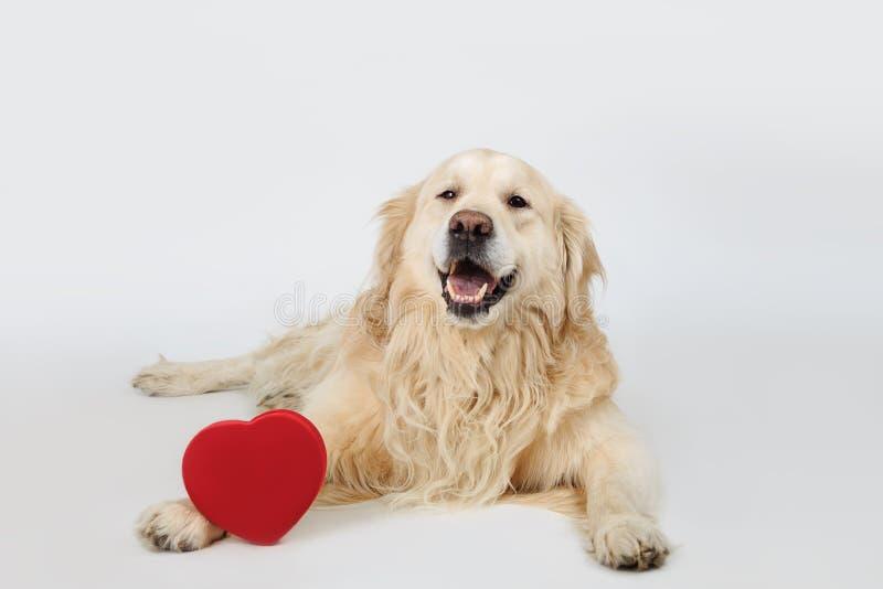 躺下与红色心脏和看对照相机的可爱的狗金毛猎犬品种 概念亲吻妇女的爱人 库存照片