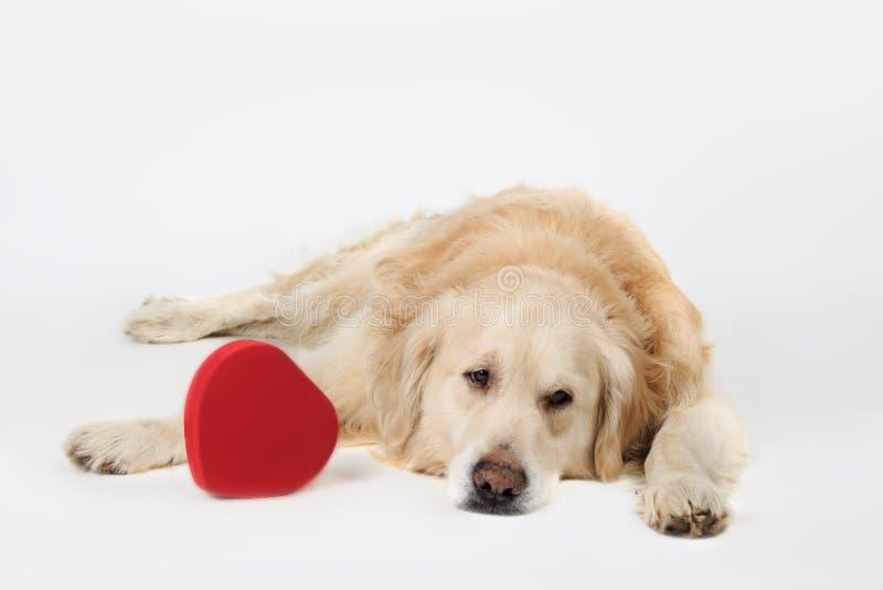 躺下与红色心脏的哀伤的狗金毛猎犬品种 免版税库存图片
