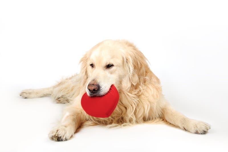 躺下和拿着在嘴的可爱的狗金毛猎犬品种红色心脏 概念亲吻妇女的爱人 库存照片