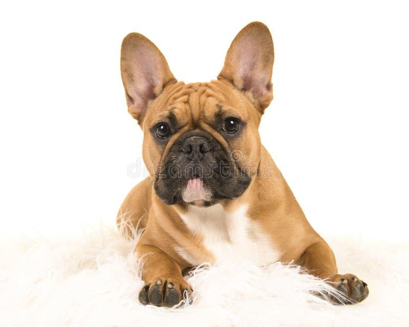 躺下在一条白色毛皮毯子的布朗法国牛头犬看a 免版税库存照片