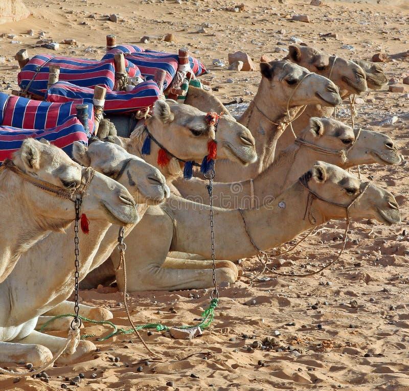 躺下在一条直线的骆驼牧群在埃及沙漠 库存图片