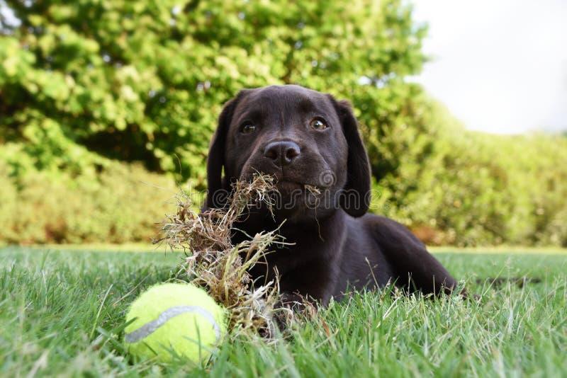 躺下在与网球的草和吃草的逗人喜爱的拉布拉多小狗 免版税库存照片