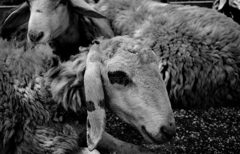 躺下在地面上的绵羊,黑白 免版税库存照片