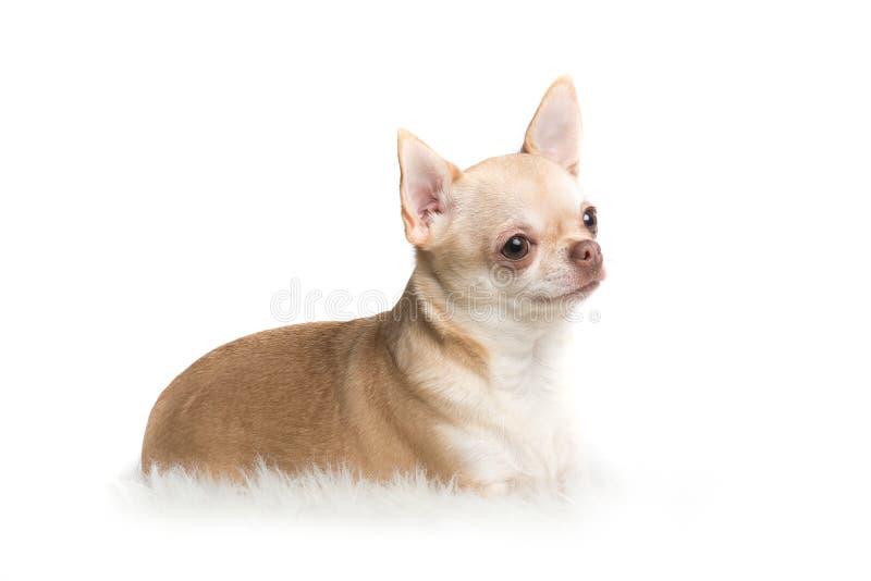 躺下在白色ba的一个白色地毯的逗人喜爱的成人奇瓦瓦狗狗 库存照片