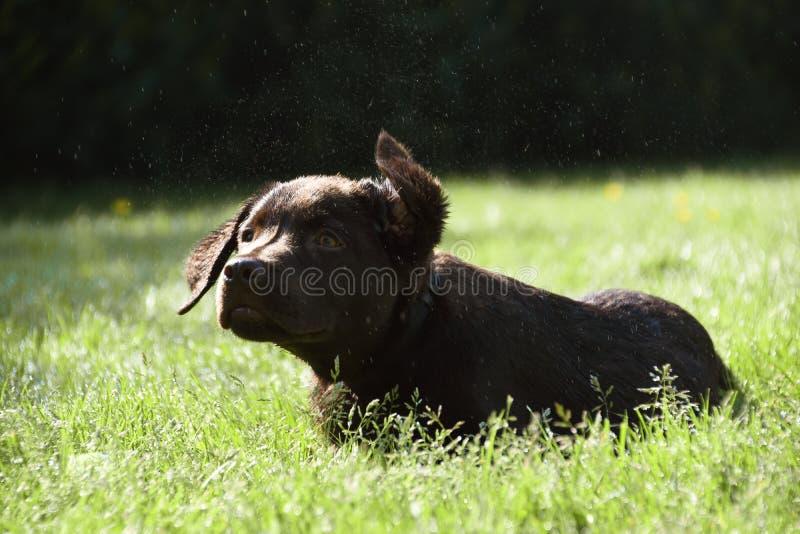 躺下在草的逗人喜爱的拉布拉多小狗震动水 库存照片