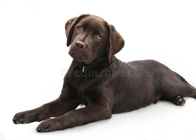 躺下在被隔绝的白色背景的一只逗人喜爱的棕色拉布拉多小狗的画象 库存照片
