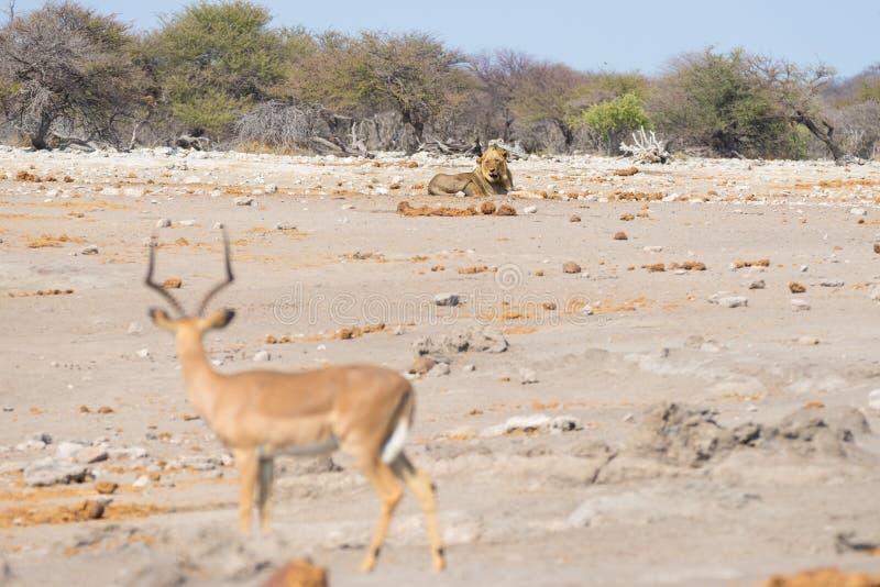躺下在距离的地面上和看飞羚的幼小公懒惰狮子, defocused在前景 野生生物徒步旅行队 免版税库存照片