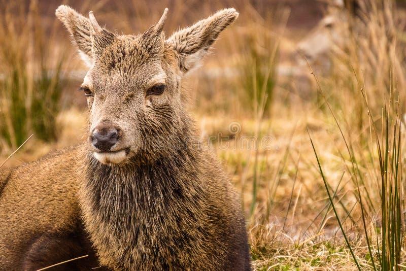 躺下在长的草的年轻马鹿雄鹿鹿elaphus在Glencoe苏格兰 免版税库存照片