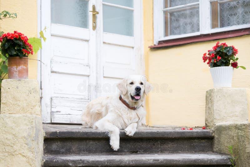 躺下由门的金毛猎犬狗 库存图片